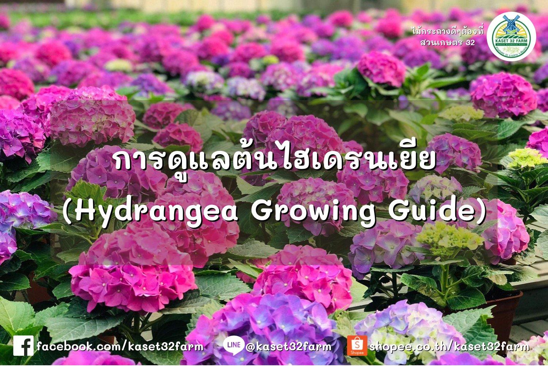 การดูแล ไฮเดรนเยีย (Hydrangea Growing Guide)