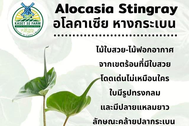 แนะนำพันธุ์ไม้ Alocasia Stingray
