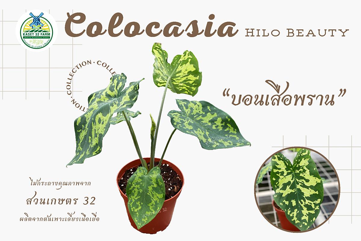 แนะนำพันธุ์ไม้ Colocasia esculenta 'Hilo Beauty'