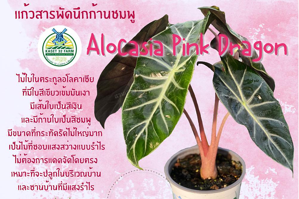 แนะนำพันธุ์ไม้ Alocasia 'Pink Dragon'