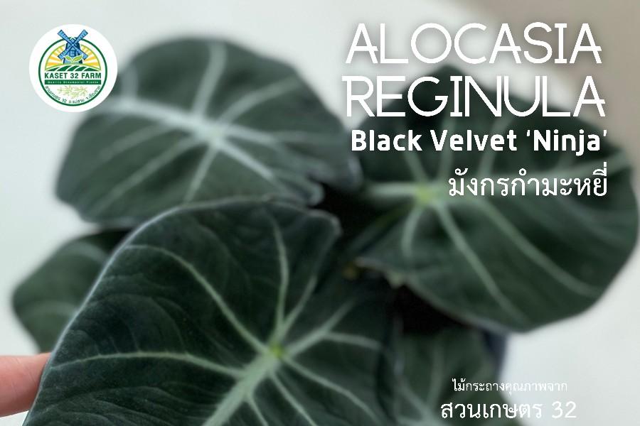 แนะนำพันธุ์ไม้ Alocasia reginula 'Black Velvet'
