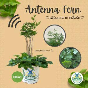 antenna fern