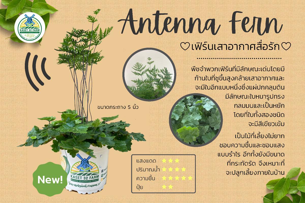 แนะนำพันธุ์ไม้ Doryopteris cordata 'Antenna Fern'