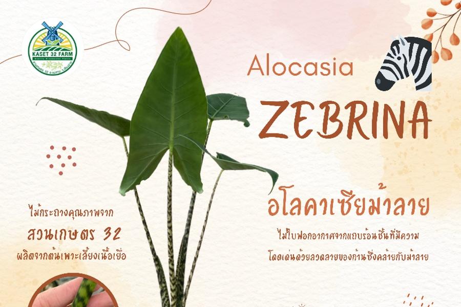 แนะนำพันธุ์ไม้ Alocasia 'Zebrina'